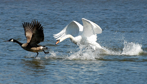 Swan vs Canadian Geese