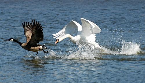 Swan vs Canadian Geese